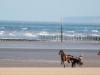 Cheval trotteur à l\'entrainement sur la plage d\'Utah Beach, Sainte Marie du Mont