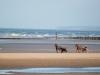 Chevaux trotteurs à l'entrainement, plage d'Utah Beach, Sainte Marie du Mont