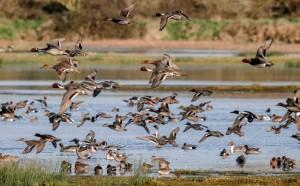 oiseaux canards marais
